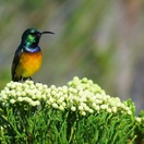 Photographic birding and wildlife safaris in southern africa orange-breasted sunbird