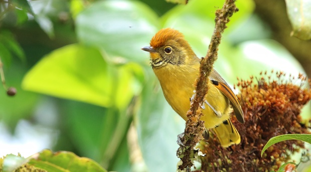 16 Day Thailand birding and photography tour. Chestnut-tailed Minla.