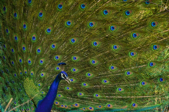 Indian Peacock birding tours