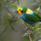 Multi-coloured Tanager