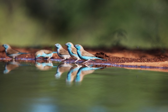 Birding and Wildlife Safaris Photography trips and tours Blue Waxbills