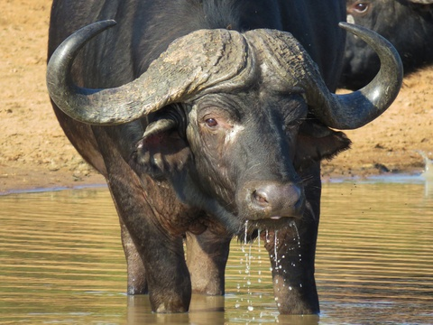 safari, buffalo, wildlife, trips, tours, photographic safari