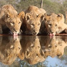 lion photographic tour south africa reflection