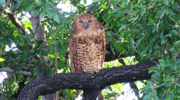 Pel's Fishing Owl in the Okavango Delta birding trip