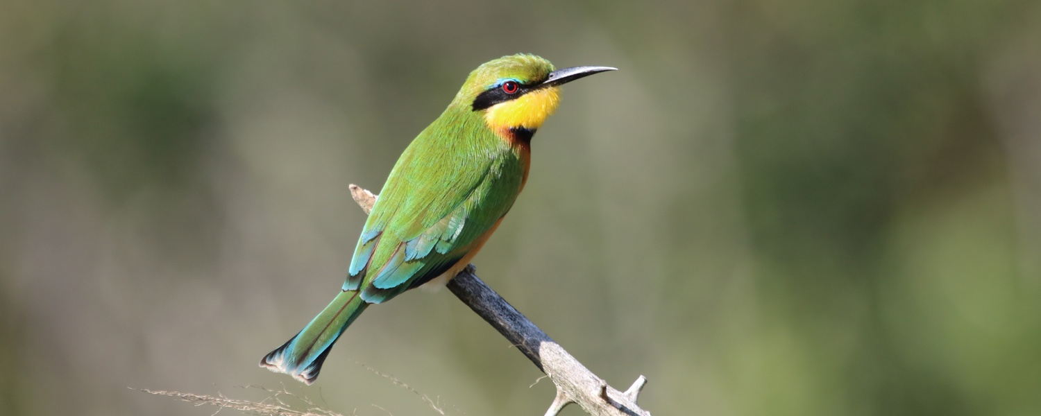 birding and wildlife safaris photographic safaris south africa little bee-eater